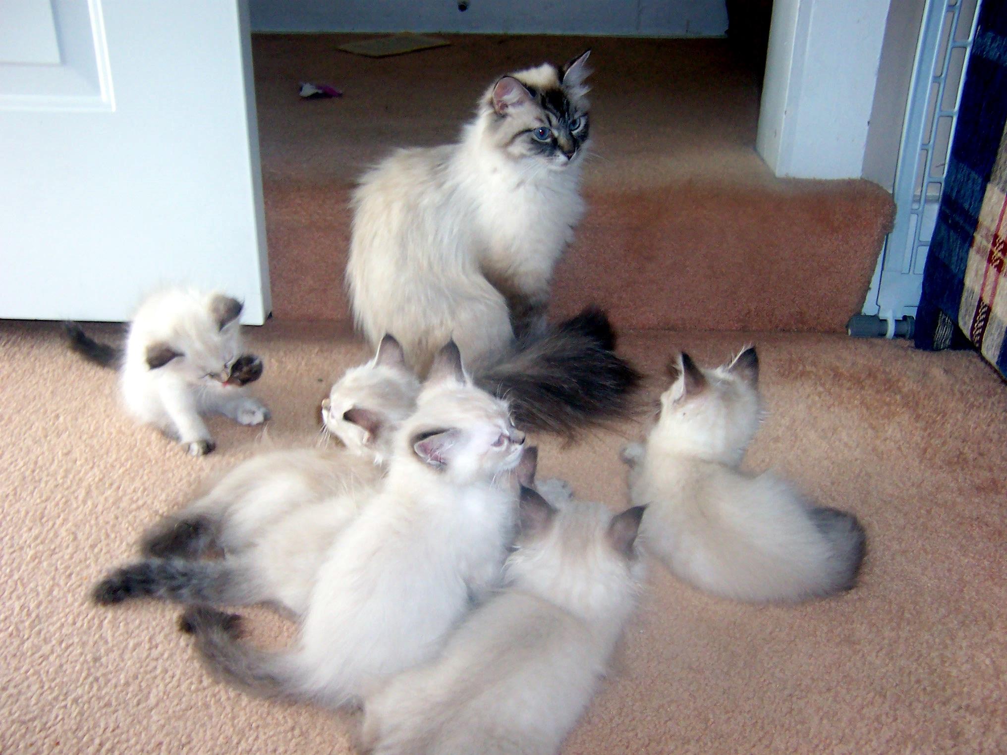 Kitten s Slideshow – Kriska Siberians